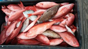 best snapper fishing in Orange Beach, Alabama